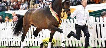 New top stallion at Helgstrand Dressage